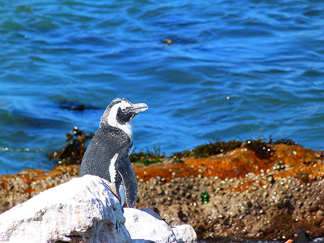 Pingüino en Stony Point (Betty's Bay, Sudáfrica)
