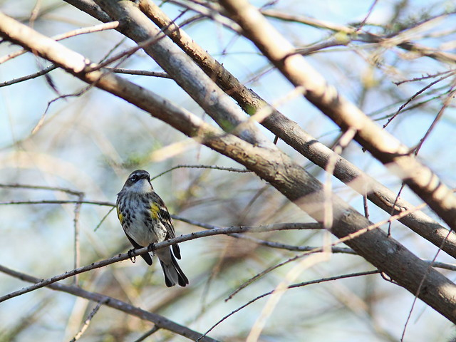 Yellow-rumped Warbler 20150212