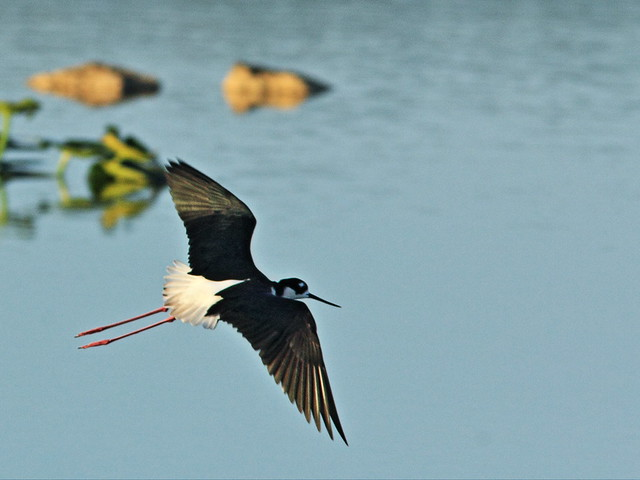 Black-necked Stilt in flight 4-20150315