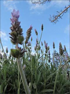 Lavender against the morning sky