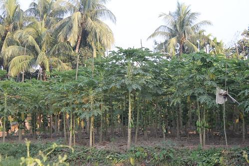 CHANDER NAGORE,-THE PAPAYA FARM