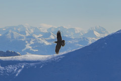 snowboarding(0.0), winter sport(0.0), extreme sport(0.0), condor(0.0), alps(1.0), mountain(1.0), winter(1.0), snow(1.0), mountain range(1.0), bird(1.0), flight(1.0), mountainous landforms(1.0),