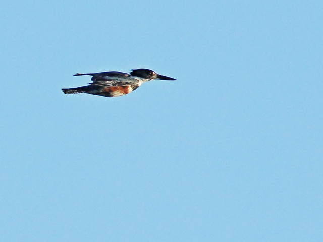 Belted Kingfisher female in flight 20150305
