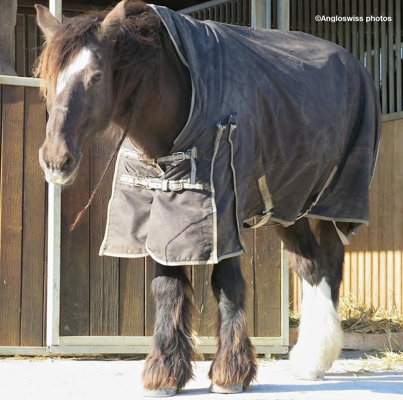 Cart Horse Feldbrunnen