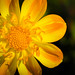 Pretty Yellow Flower by jtrigonis