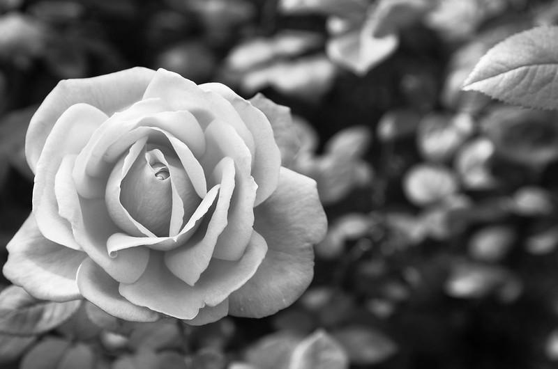砂漠のバラ.jpg