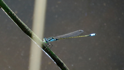Male Common Bluetail shoulder