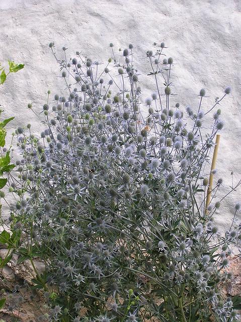 Tartu BG Herb Garden, Eryngium planum