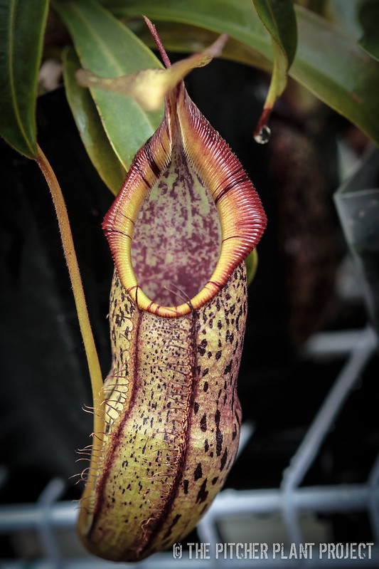 Nepenthes spectabilis x singlana