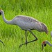 Brolga - Photo (c) Geoff Whalan, some rights reserved (CC BY-NC-ND)