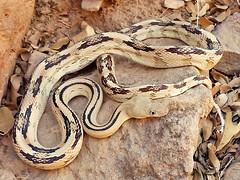Bogertophis subocularis