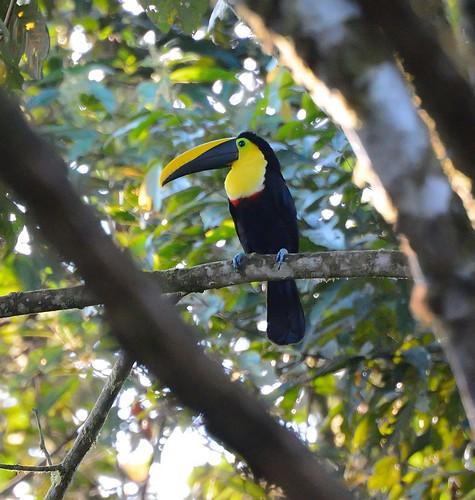 bird toucan ecuador sanctuary blackbilled ramphastosambiguus milpe