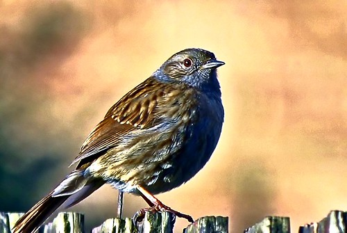 Sparrow in the sun!