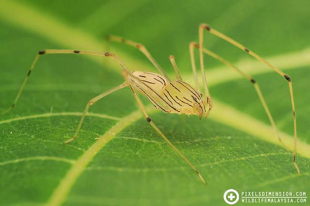 "Spitting Spider- ""Scytodes pallida"""