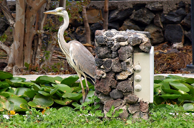 Heron, Tenerife
