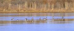 Canada Geese on the Rio Grande