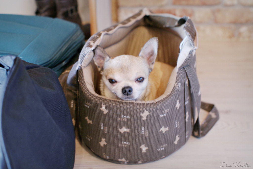 chihuahua carrying bag dog tiny small cute luggage weekend away travel