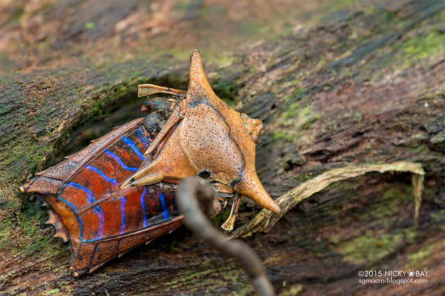 Giant shield bug (Tessaratomidae) with cordyceps fungus - DSC_3339