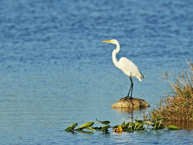 Great Egret 4-20150305