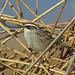 Striped Sparrow, Almoloya del Rio, Mexico por Terathopius