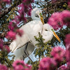 Great White Egrets Pink Spring Tree Blossoms 2/3