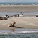 Small photo of Zeehonden op het Wad