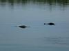 swamp tour alligators passing 1