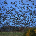 Lift off from the reed beds, Starlings