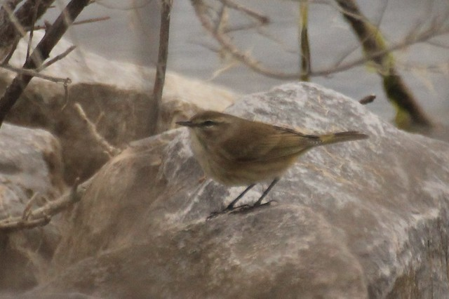 Palm warbler (western) Howze beach,Slidell IMG_7614