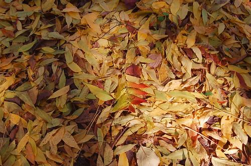 カイノキの葉