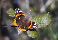 Papillon de janvier - Photo of Urau
