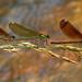 Calopteryx? by bego vega