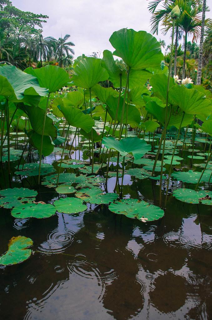 Hydrophytes : Nénuphars Vert à Fleur d'Eau un Jour de Ciel Blanc et de Pluie