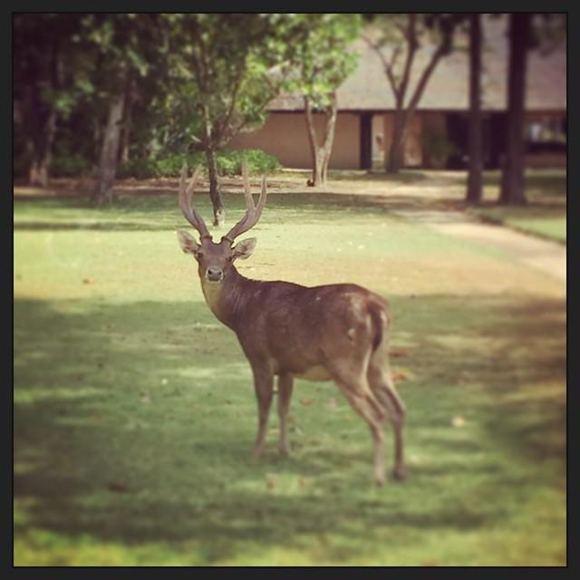 Deer at Amanwana