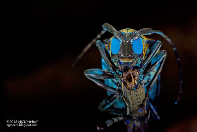 Longhorn beetle (Cerosterna sp.) - DSC_5316
