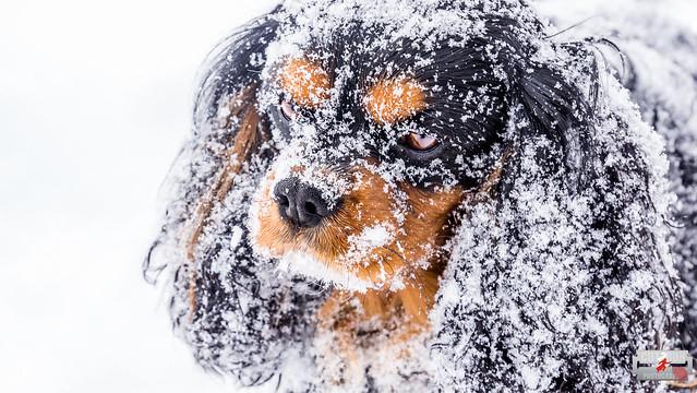 Cut2Run - Snowdog