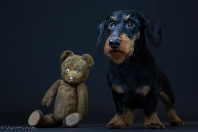 Dachshund & Teddy