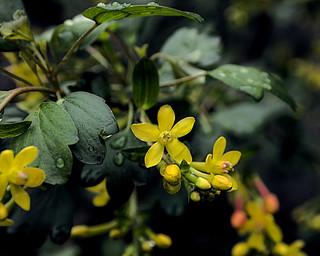 P20110315-0021--Ribes aureum