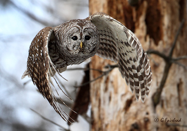 Gary Fairhead - Barred Owl In Flight