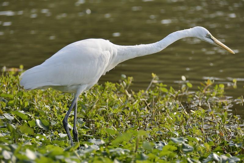 內惟埤的大白鷺