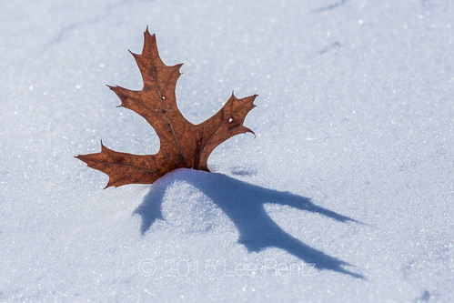 Northern Red Oak Leaf Caught in Snow in Central Michigan