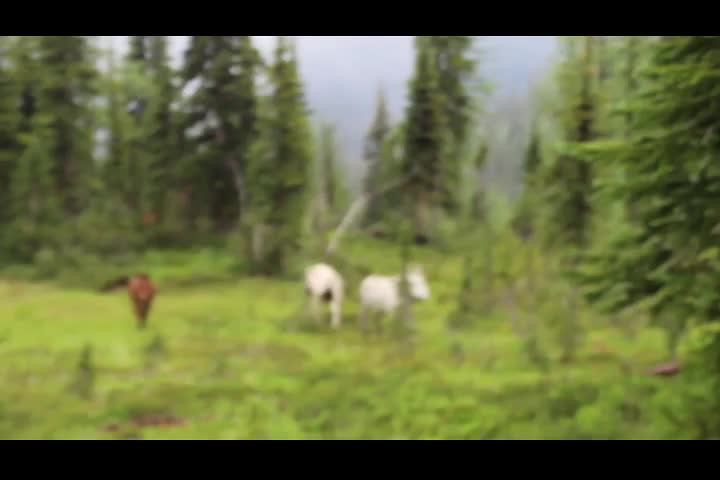 2851 Video of three belled horses heading home by themselves on the PCT north of Windy Pass