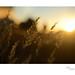 Sunset Harvest by heritagefutures