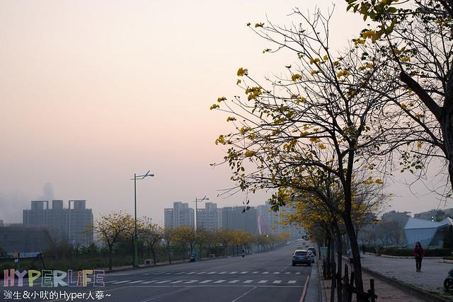廍子公園 黃花風鈴木 (1)