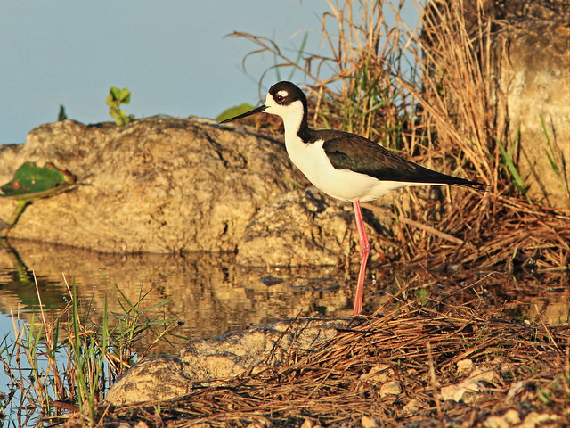 Black-necked Stilt 03-20150315