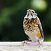 Robin Explorer by britta heise
