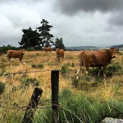 #vaches #grandrieu #mignon #randonnée #lozère - Photo of Saint-Jean-la-Fouillouse