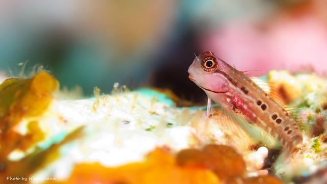 ゴイシギンポ幼魚♪