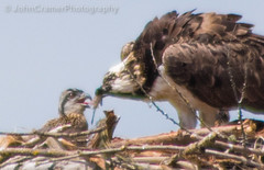 Osprey Feeding Chick at Union Bay Natural Area