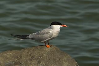 Common Tern - Flevoland - Netherland_181